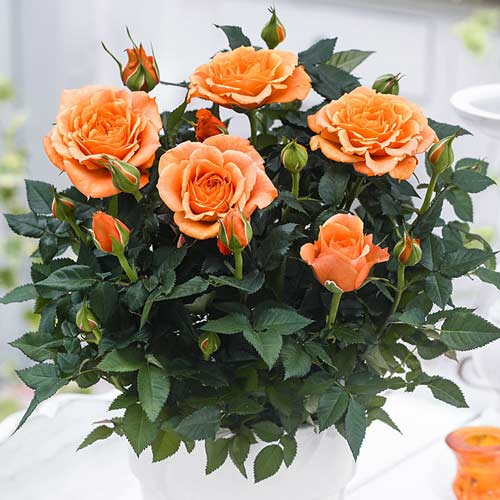 Роза Оранж Бейби изображение 1