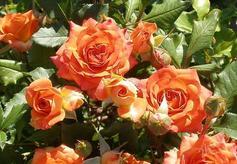 Роза Оранж Бейби изображение 2