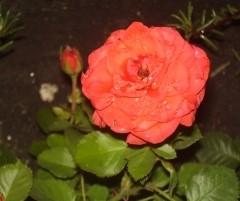 Роза Оранж Бейби изображение 4