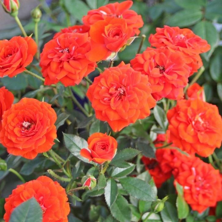 Роза Оранж Бейби изображение 3