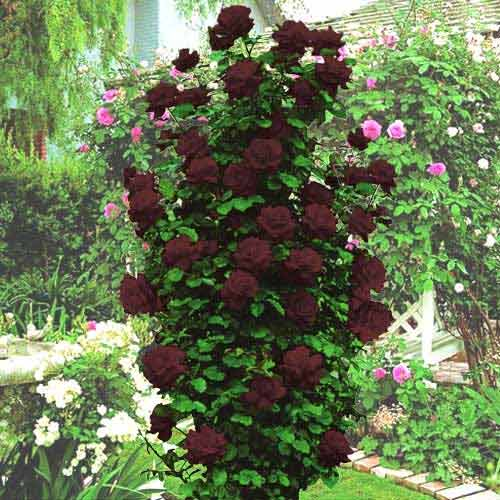 Роза Черная королева изображение 2