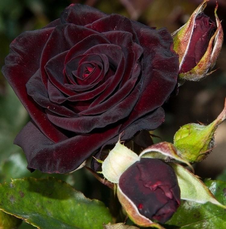 Роза Черная королева изображение 3