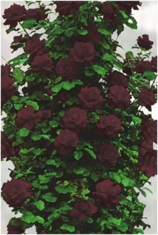Роза Черная королева изображение 4