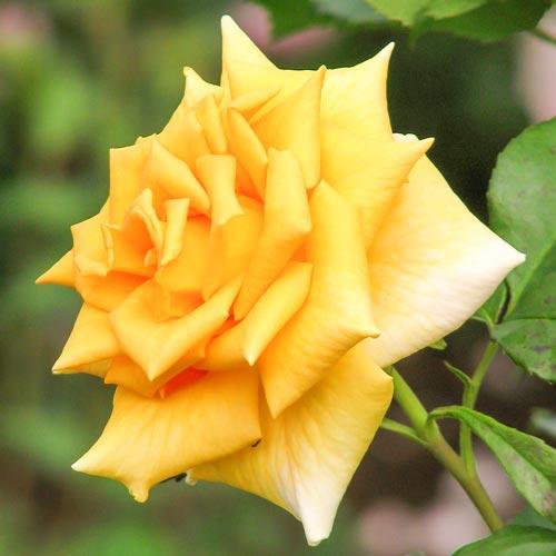 Роза Голден Моника 1