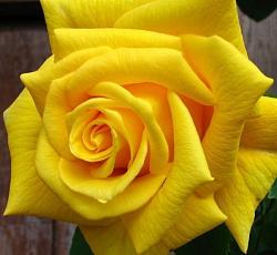 Роза Голден Моника 2