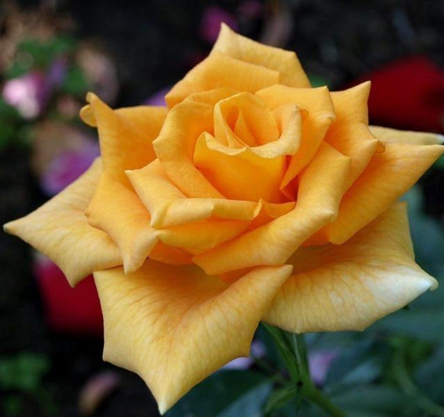 Роза Голден Моника 4