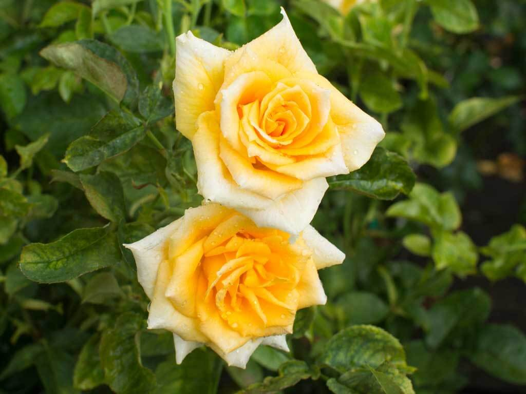 Роза Голден Моника 3