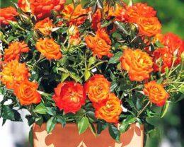 Роза Мандарин