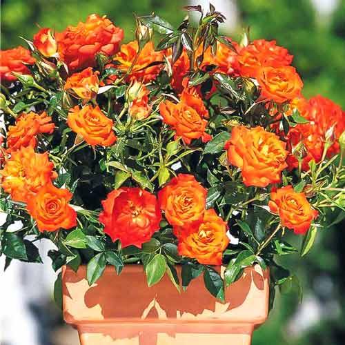 Роза Мандарин 1