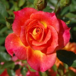 Роза Мандарин 2