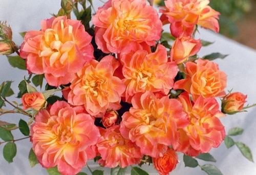 Роза Мандарин 4