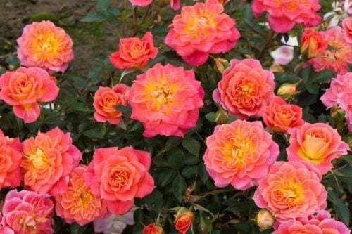 Роза Мандарин 3