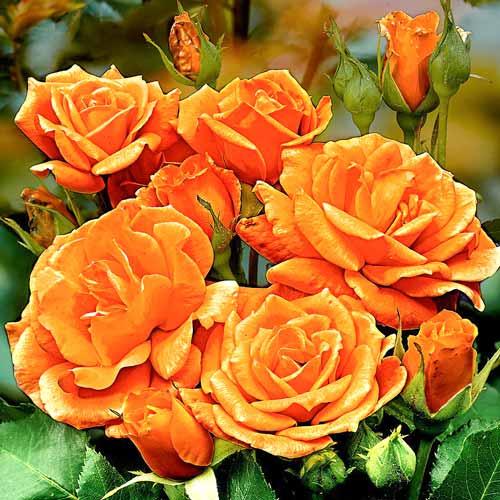 Роза Оранж Сенсейшн 1