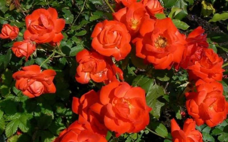 Роза Оранж Сенсейшн 2