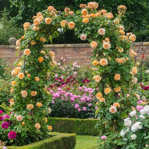 Роза Принцесса Маргарет 1