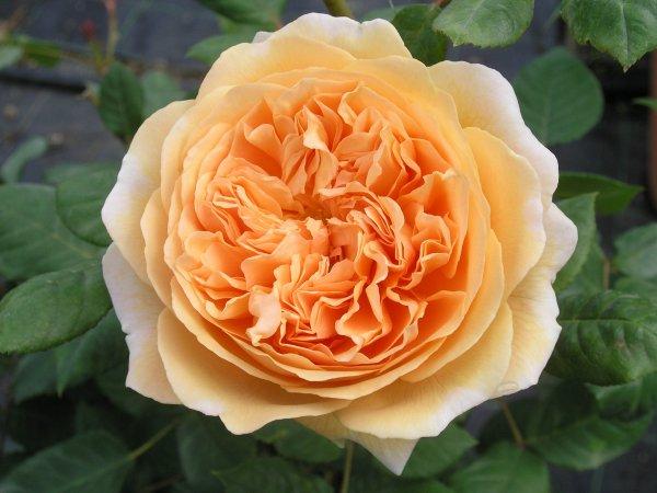 Роза Принцесса Маргарет 2