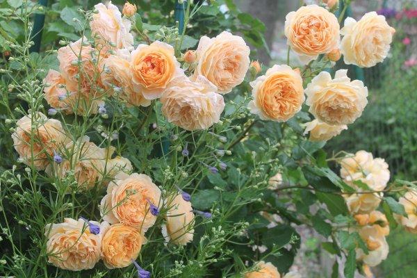 Роза Принцесса Маргарет 3