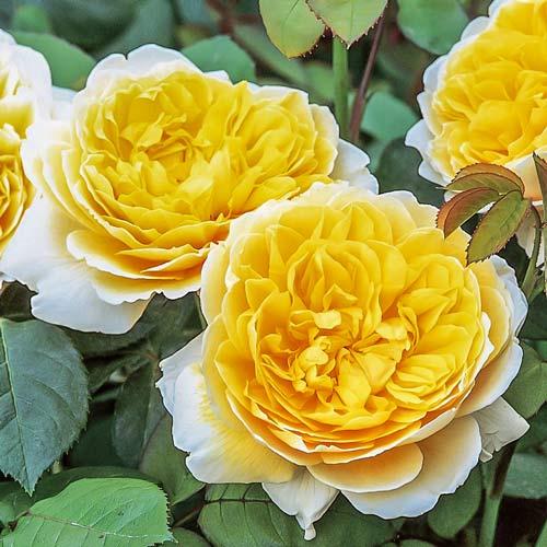 Роза Шарлотта изображение 1