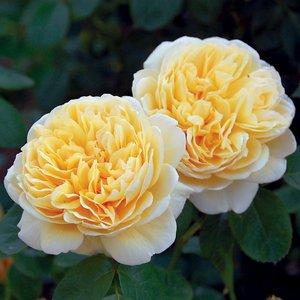 Роза Шарлотта изображение 2