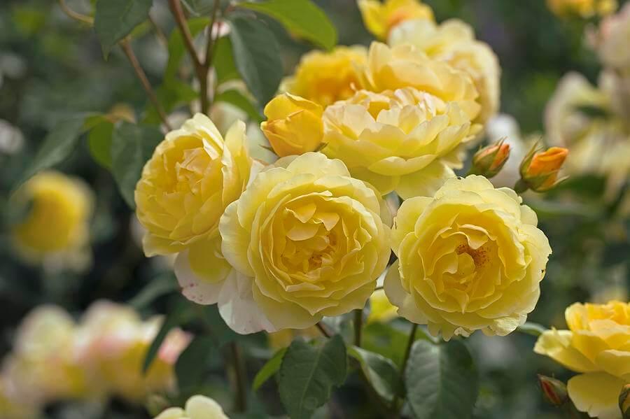 Роза Шарлотта изображение 4