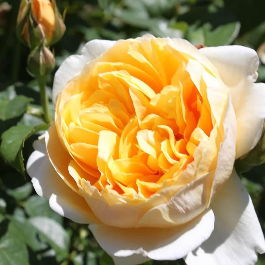 Роза Шарлотта изображение 3