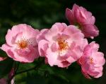 Роза Мархенланд