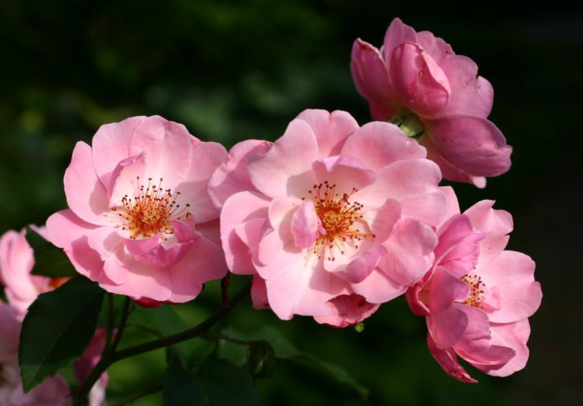 Роза Мархенланд 1