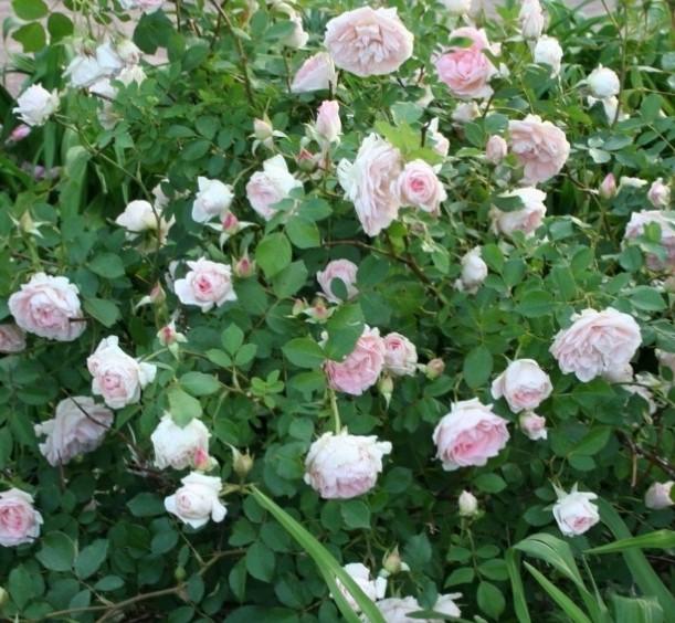 Роза Мархенланд 2