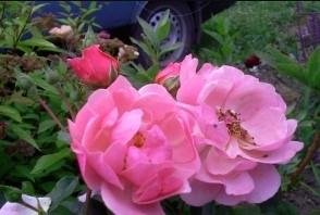 Роза Мархенланд 3