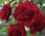 Роза Мушимара
