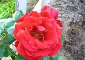 Роза Мушимара 3