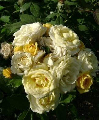Роза Сан Сити 3