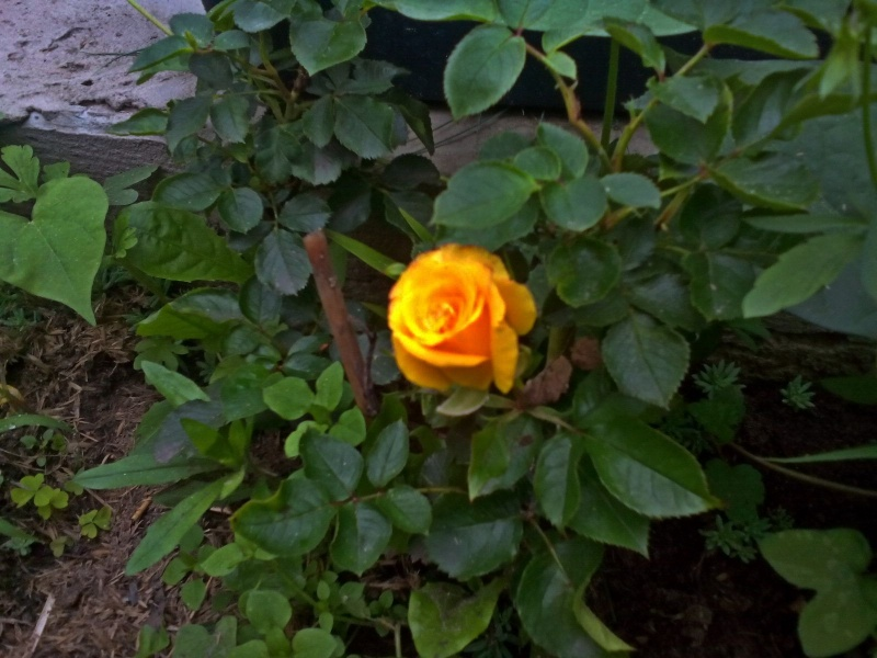 Роза Сан Сити 2