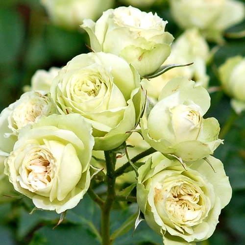 Роза Лавли Грин изображение 1