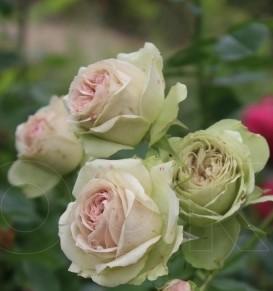 Роза Лавли Грин изображение 2