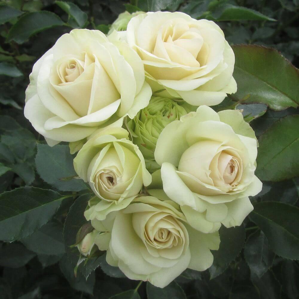 Роза Лавли Грин изображение 4