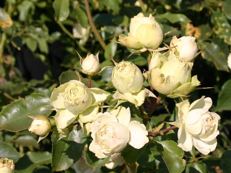 Роза Лавли Грин изображение 3