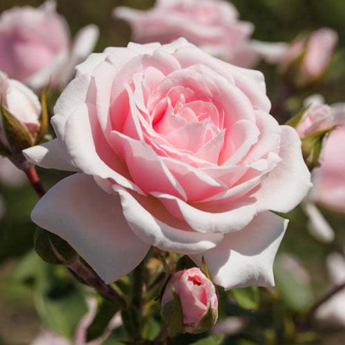Роза Пинк Диадем изображение 1