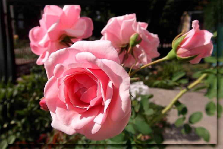 Роза Пинк Диадем изображение 2