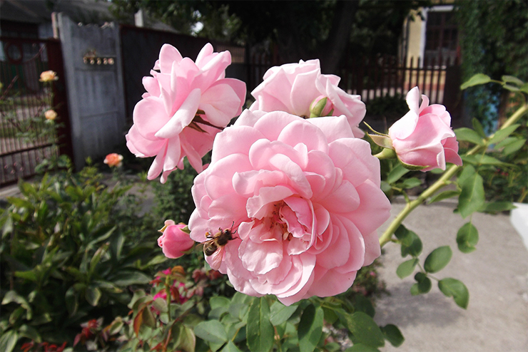Роза Пинк Диадем изображение 4
