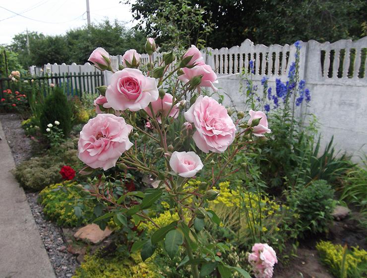 Роза Пинк Диадем изображение 3