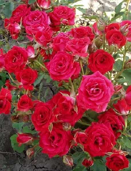 Роза Ред Микадо 4