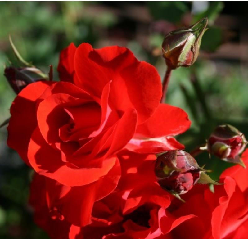 Роза Ред Микадо 3