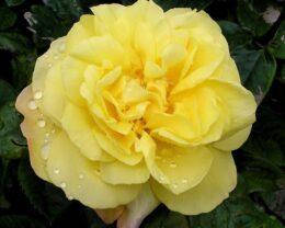 Роза Рейн Лючия
