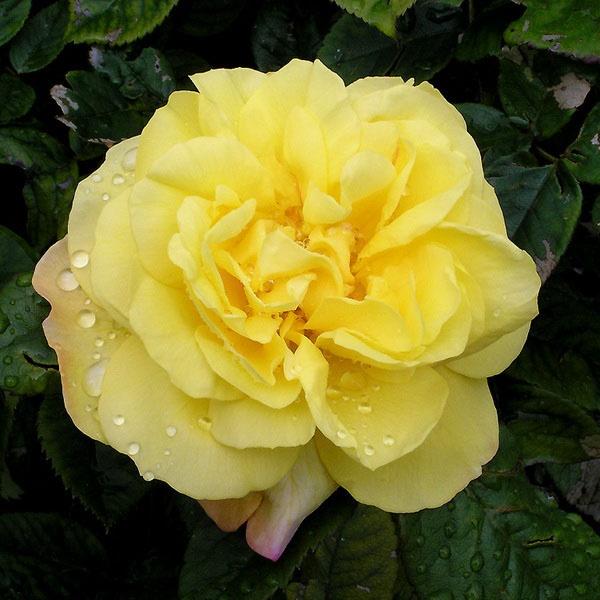 Роза Рейн Лючия изображение 1