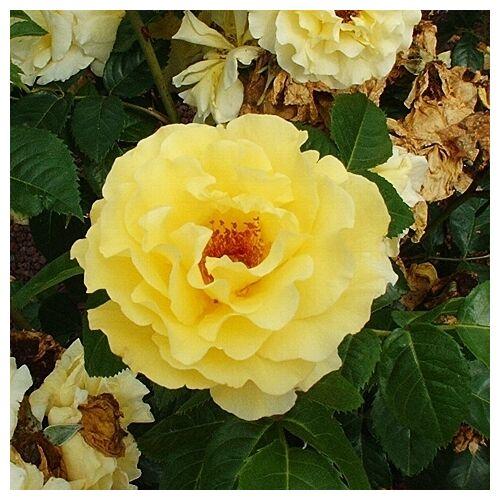 Роза Рейн Лючия изображение 2