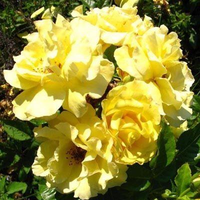 Роза Рейн Лючия изображение 3