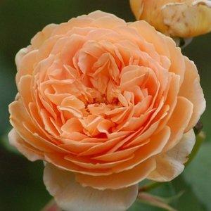 Роза Чарльз Остин изображение 4