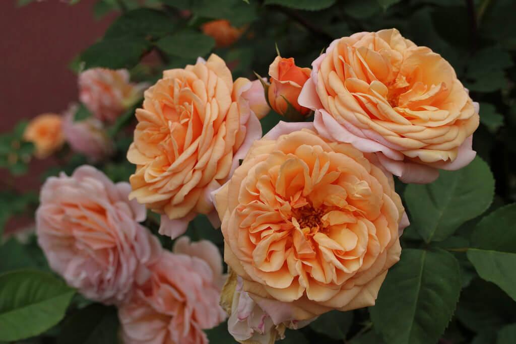 Роза Чарльз Остин изображение 1