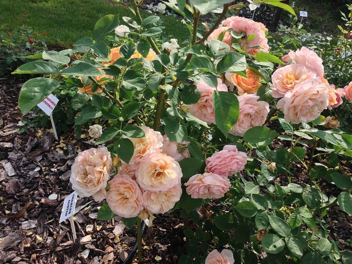 Роза Чарльз Остин изображение 3